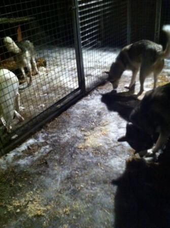 Godbitsøk i hundegård med holke. Vi strør med sagflis og håper at ingen får strekkskader på holka