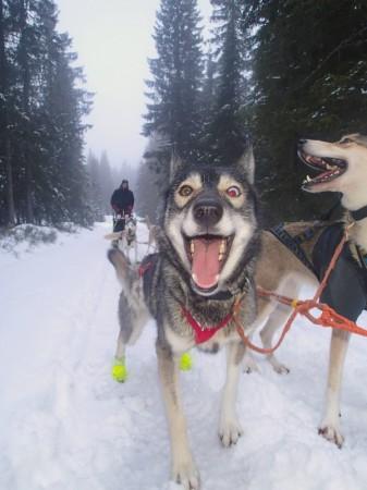 """Zima og Mir på tur ved Brovoll i regnvær- siste tur """"hjemmefra"""" før holka satte inn"""