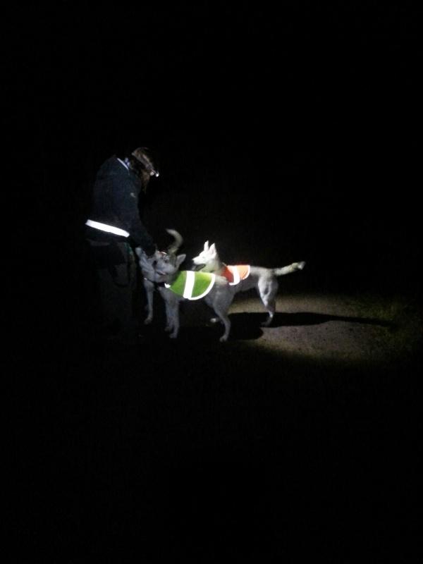 Sånn ser det ut på kveldsturene. Hodelykt og refleksvest på valpene.