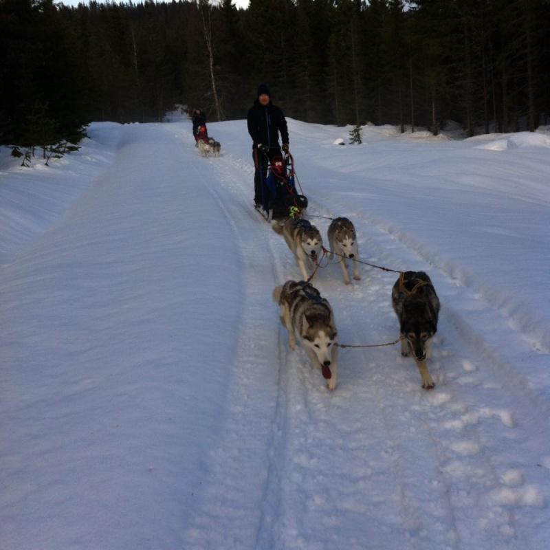 Nome/Sirius og Eri fra alnitak-kullet  går i spann for første gang. Foran går Zima og Gill. Kjører er eier av Eri og Nome