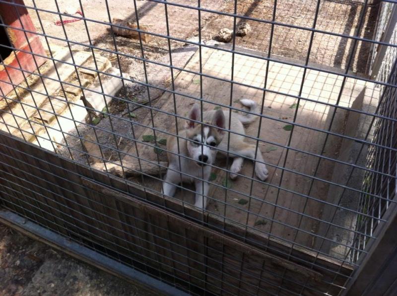 Og så trener vi på å bo i hundegård. Nykommere bor alltid inne den første tiden før de fases ut i hundegården
