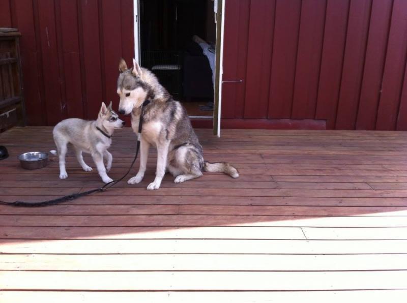 Runner er flink valpeonkel og skal bo sammen med Nova i hundegården. Introduksjon til resten av hundene gjøres gradvis